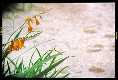 くまもと梅雨時と夏の草花2018(1)_b0133911_18500606.jpg