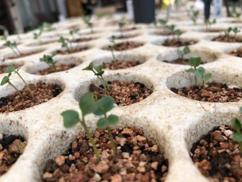 今朝は 蕪 ルッコラ からし菜 のアブラナ科の野菜達の発芽を確認して背負い動噴で水遣りです_c0222448_12094642.jpg