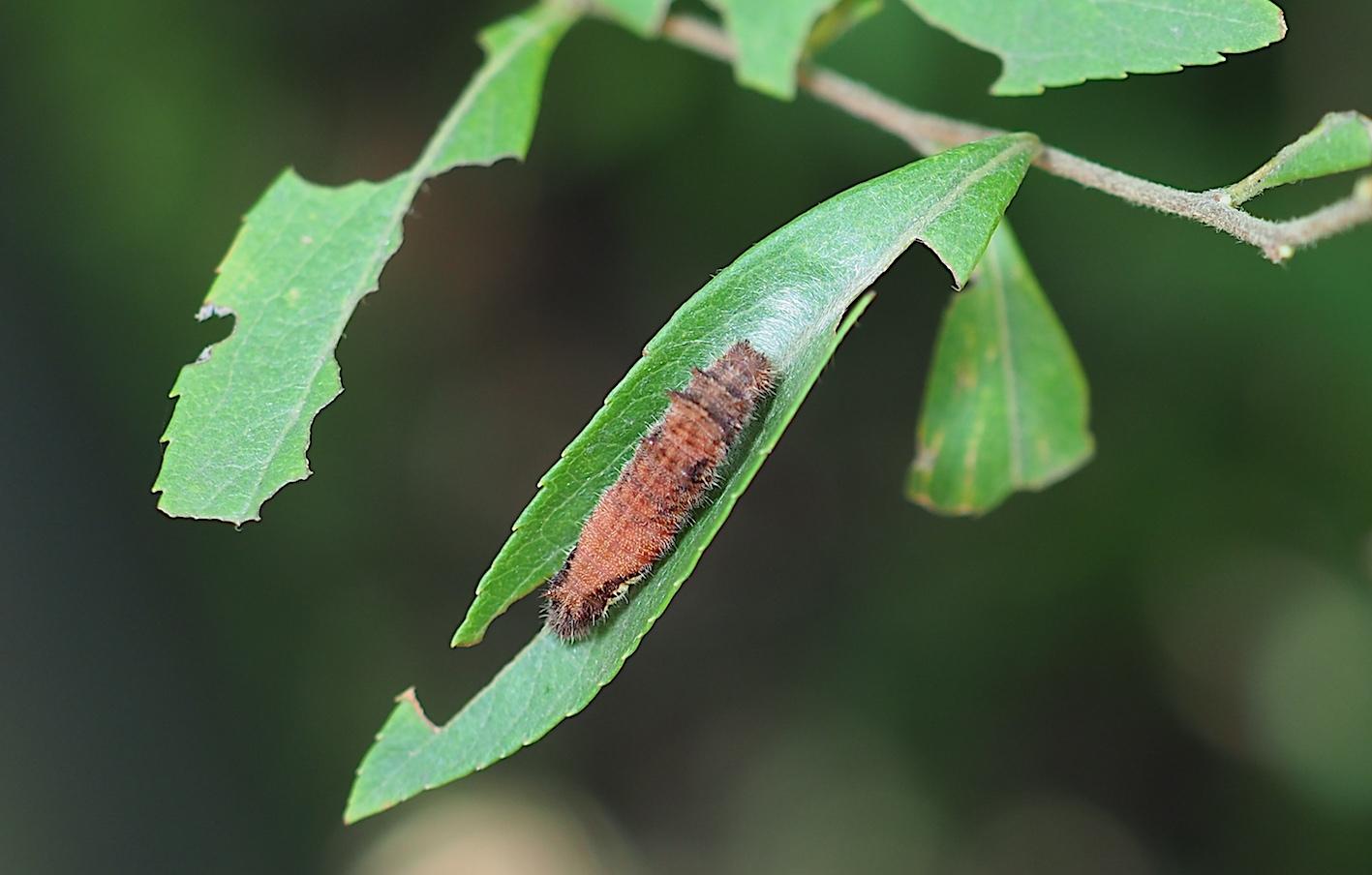ホシミスジ幼虫&ジャコウアゲハ幼虫(2018年8月29日)_d0303129_13362395.jpg