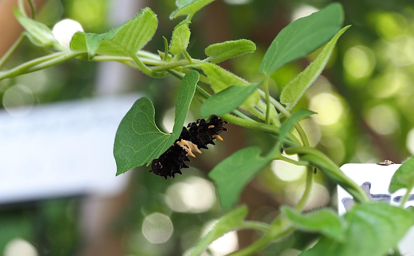 ホシミスジ幼虫&ジャコウアゲハ幼虫(2018年8月29日)_d0303129_1336545.jpg