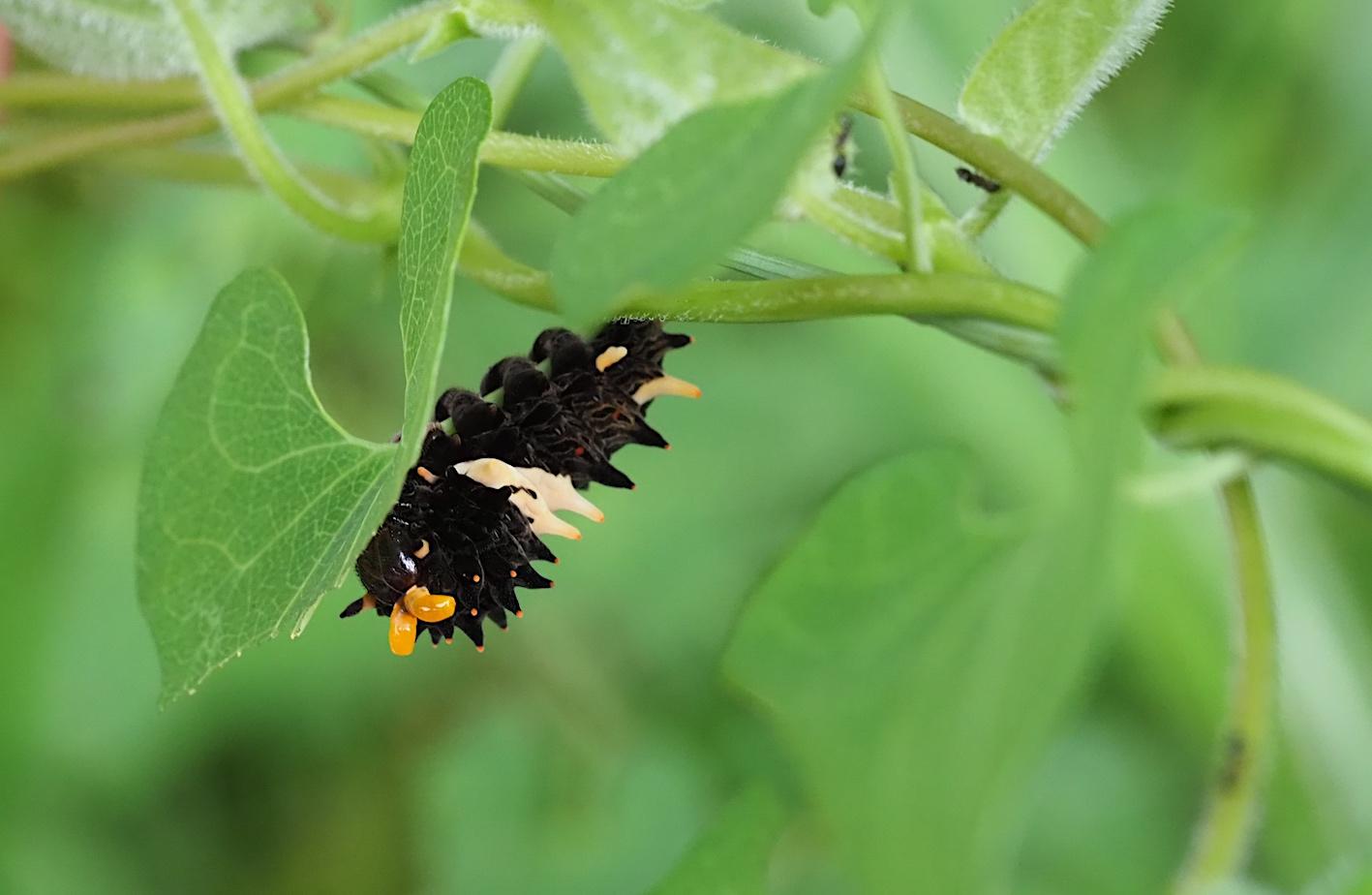 ホシミスジ幼虫&ジャコウアゲハ幼虫(2018年8月29日)_d0303129_1337325.jpg