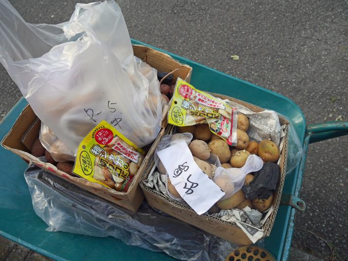 ダイコン種蒔き(8・28)、秋ジャガ種芋植え付け(8・30)_c0014967_11563584.jpg