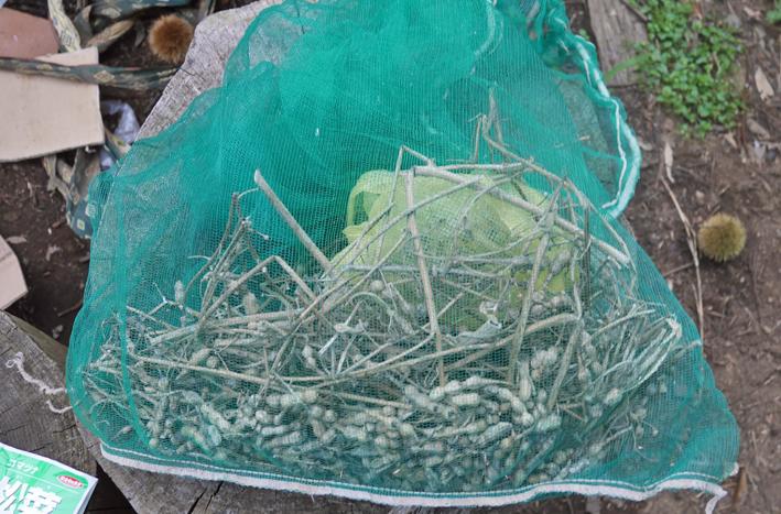 ダイコン種蒔き(8・28)、秋ジャガ種芋植え付け(8・30)_c0014967_11582503.jpg