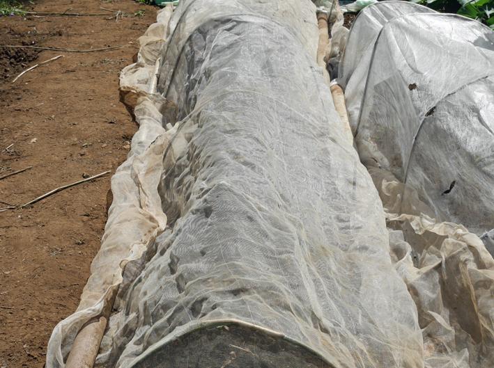 ダイコン種蒔き(8・28)、秋ジャガ種芋植え付け(8・30)_c0014967_11583836.jpg