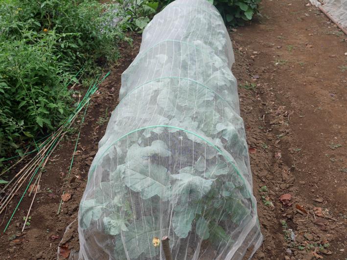 ダイコン種蒔き(8・28)、秋ジャガ種芋植え付け(8・30)_c0014967_11595020.jpg