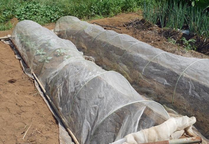 ダイコン種蒔き(8・28)、秋ジャガ種芋植え付け(8・30)_c0014967_12023332.jpg