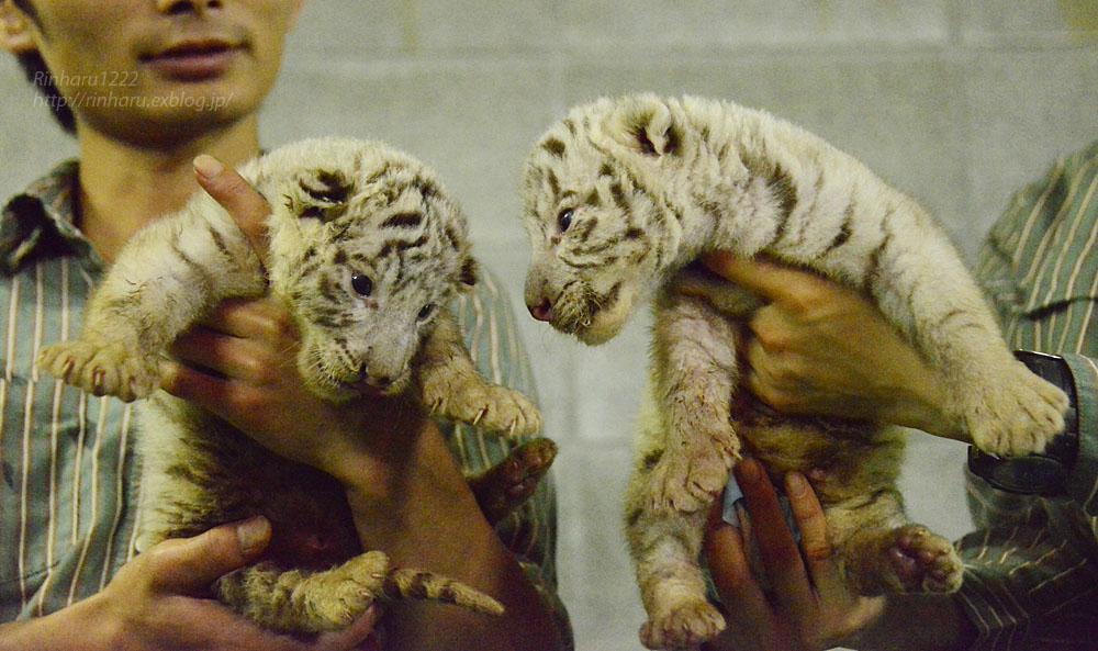 2018.9.2 伊豆アニマルキングダム☆ホワイトタイガーの双子の赤ちゃん【White tiger babies】<その1>_f0250322_21475738.jpg