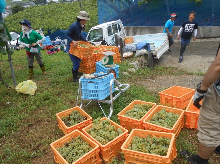 シャルドネの収穫、甲州市塩山の奥野田ワイナリーのぶどう畑に行ってきました!_a0095931_13301695.jpg