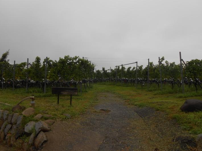 シャルドネの収穫、甲州市塩山の奥野田ワイナリーのぶどう畑に行ってきました!_a0095931_13310904.jpg