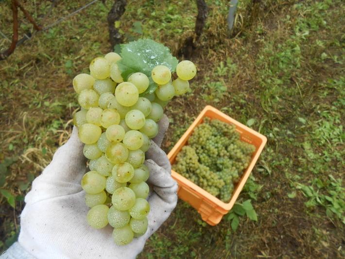 シャルドネの収穫、甲州市塩山の奥野田ワイナリーのぶどう畑に行ってきました!_a0095931_13350761.jpg
