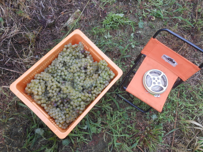 シャルドネの収穫、甲州市塩山の奥野田ワイナリーのぶどう畑に行ってきました!_a0095931_13354246.jpg