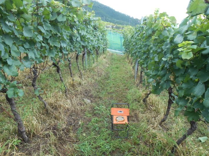 シャルドネの収穫、甲州市塩山の奥野田ワイナリーのぶどう畑に行ってきました!_a0095931_13363865.jpg