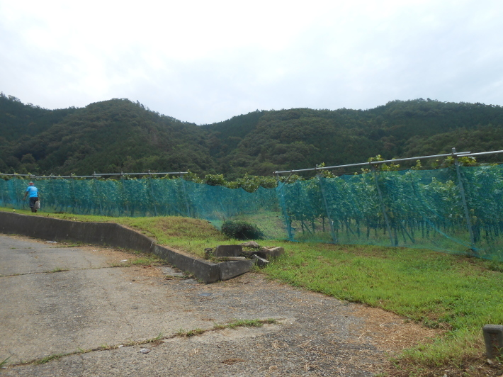 シャルドネの収穫、甲州市塩山の奥野田ワイナリーのぶどう畑に行ってきました!_a0095931_13371315.jpg