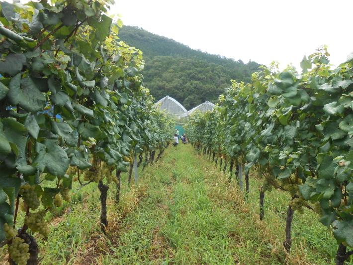 シャルドネの収穫、甲州市塩山の奥野田ワイナリーのぶどう畑に行ってきました!_a0095931_13375109.jpg
