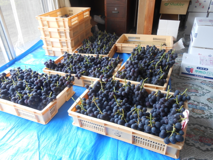 シャルドネの収穫、甲州市塩山の奥野田ワイナリーのぶどう畑に行ってきました!_a0095931_13415994.jpg