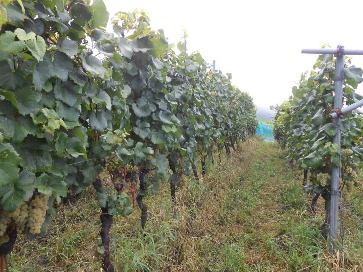 シャルドネの収穫、甲州市塩山の奥野田ワイナリーのぶどう畑に行ってきました!_a0095931_14085787.jpg