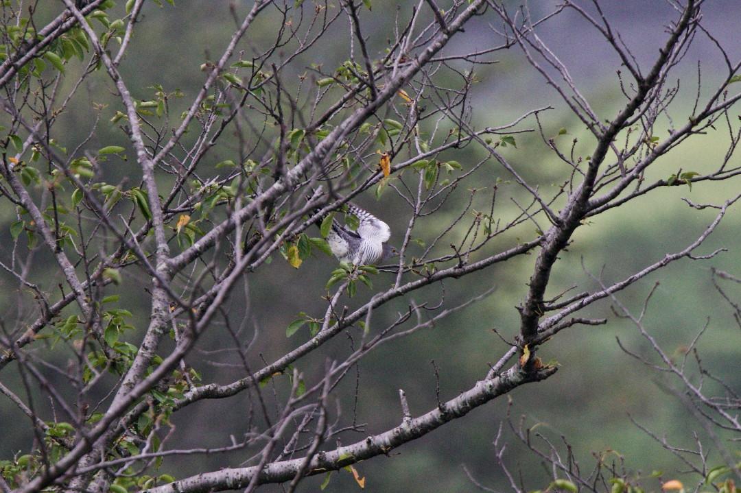 桜並木のツツドリ_e0071967_9141761.jpg
