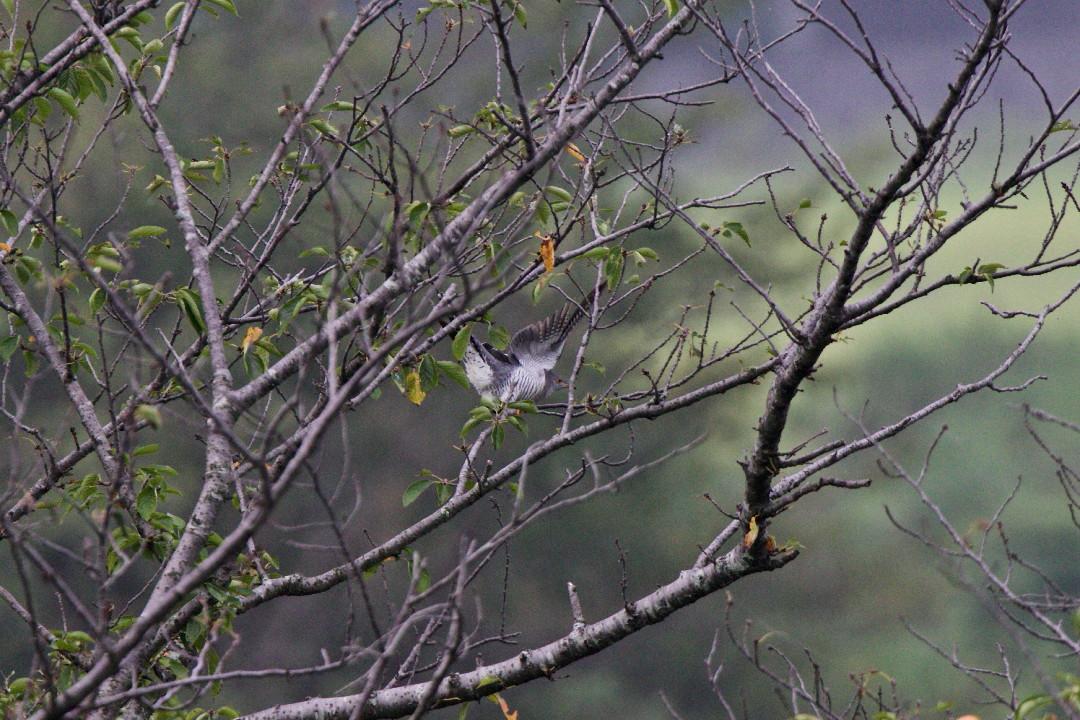 桜並木のツツドリ_e0071967_9141995.jpg