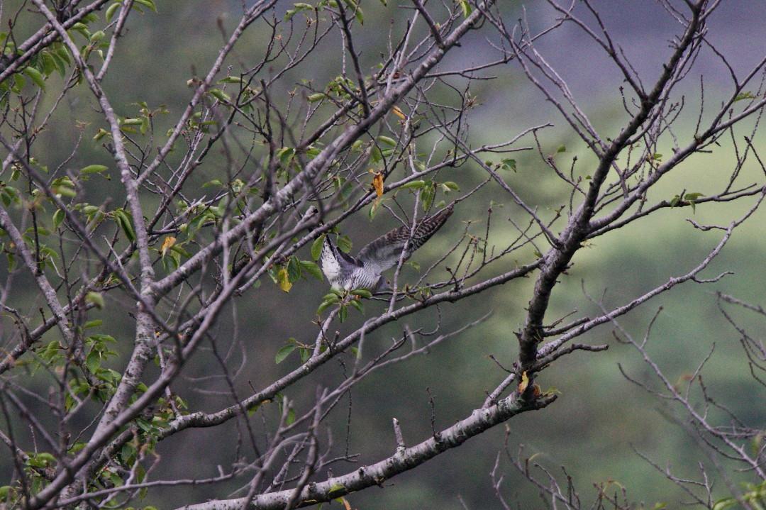 桜並木のツツドリ_e0071967_9142191.jpg