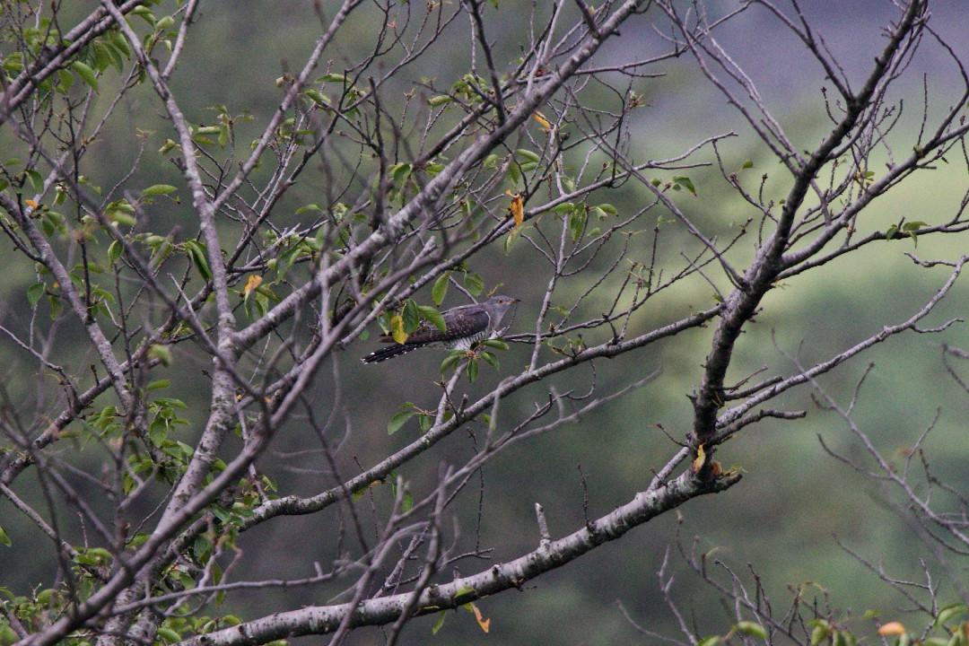 桜並木のツツドリ_e0071967_9142748.jpg
