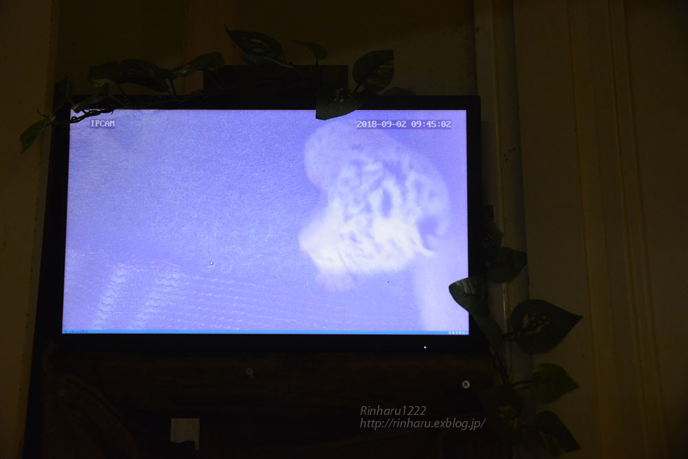 2018.9.2 伊豆アニマルキングダム☆ホワイトタイガーの双子の赤ちゃん【White tiger babies】<その2>_f0250322_21225286.jpg