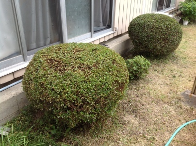 庭木剪定_c0186441_18591979.jpg
