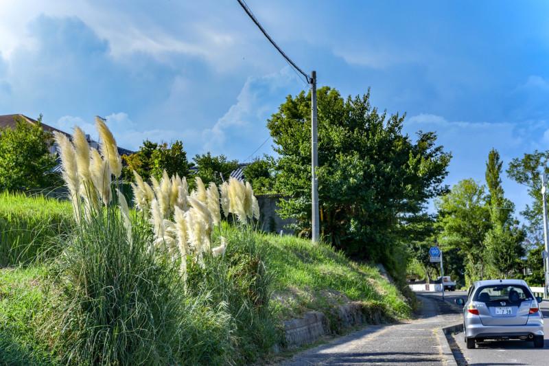 海岸散歩 2018 屋島東町のパンパスグラス_d0246136_12213828.jpg