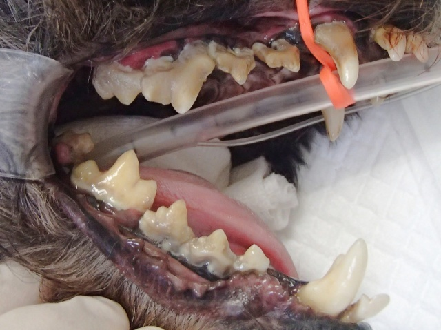 無麻酔下歯石除去について(当院では行いません!)_b0287468_08240395.jpg