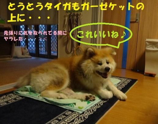 タイガよ、オマエもか・・・(笑)_f0121712_23092479.jpg