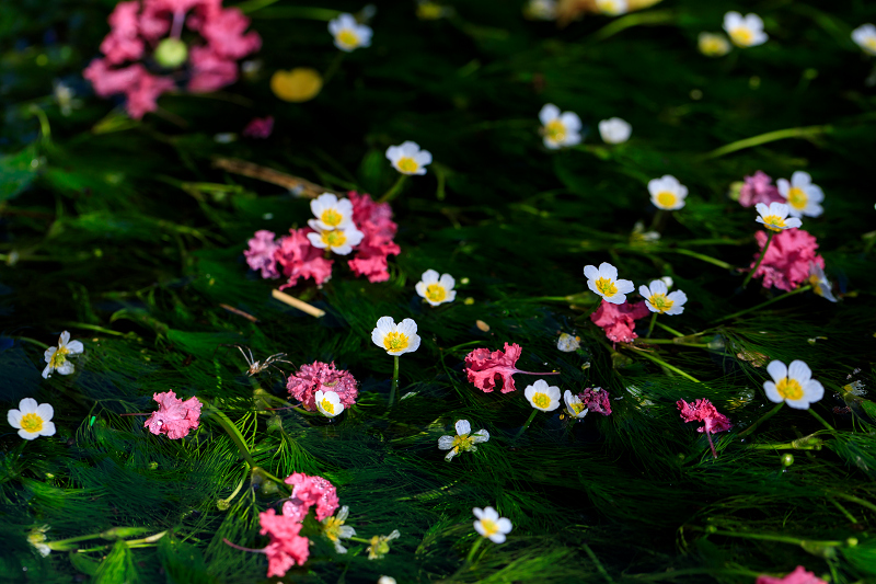 夏の花畑2018 梅花藻咲く清流(醒ヶ井)_f0155048_0215079.jpg