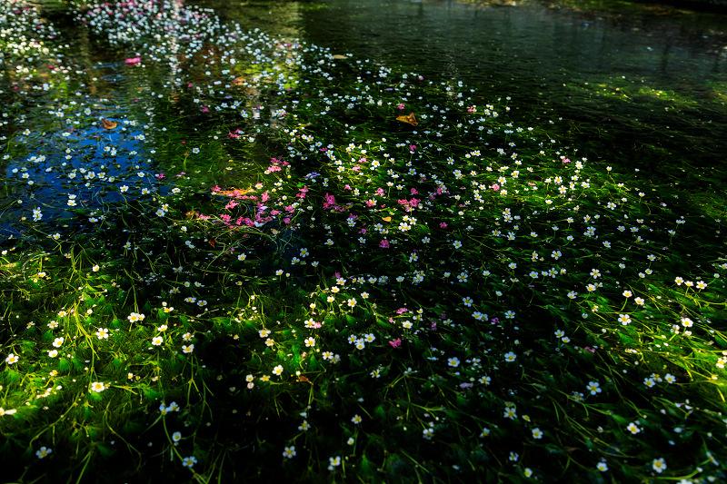 夏の花畑2018 梅花藻咲く清流(醒ヶ井)_f0155048_0222435.jpg