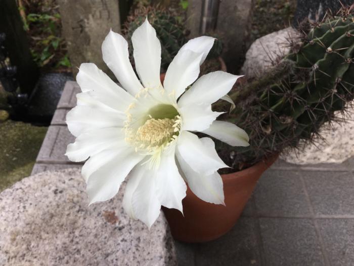サボテンの開花_e0130334_12265424.jpg