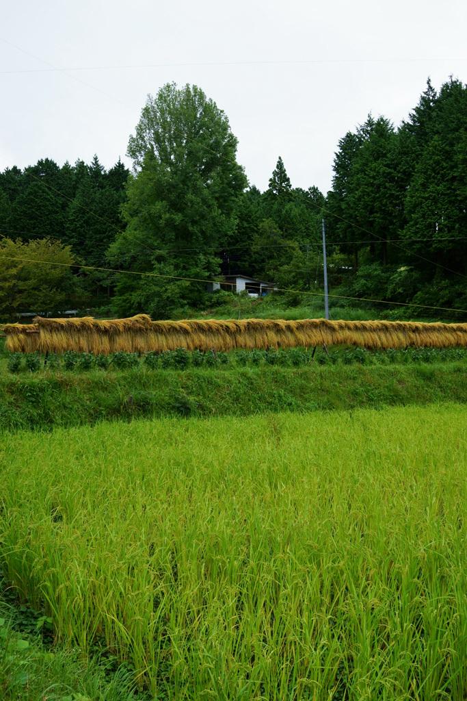 稲刈り_d0231263_20500157.jpg