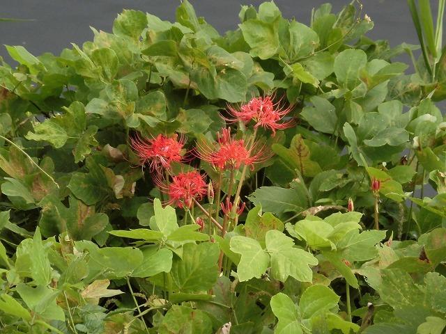 これから花を咲かせるヒガンバナがきれいに見えるよう「滝川の草刈り清掃」に80名が参加!_f0141310_07580286.jpg