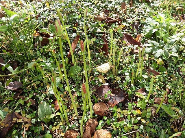 これから花を咲かせるヒガンバナがきれいに見えるよう「滝川の草刈り清掃」に80名が参加!_f0141310_07581886.jpg