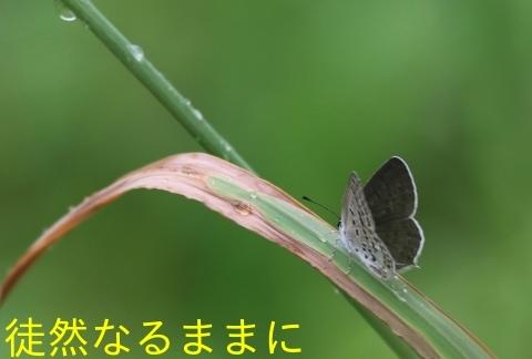 クロツバメシジミ九州沿岸亜種_d0285540_21030552.jpg