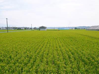 無農薬栽培のひのひかり100%使用の『米粉』大好評販売中!平成30年度のお米も元気に成長中!_a0254656_18102209.jpg