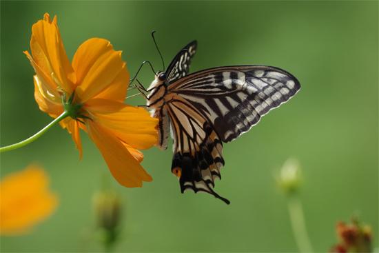 身近な蝶2種_e0167571_23381272.jpg