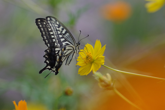 身近な蝶2種_e0167571_23382353.jpg