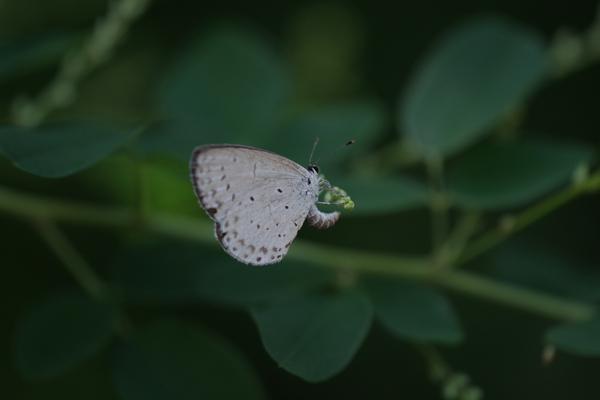 身近な蝶2種_e0167571_23383555.jpg