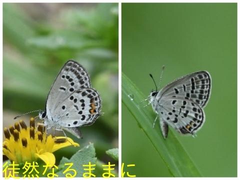 クロツバメシジミ九州沿岸亜種_d0285540_05363952.jpg