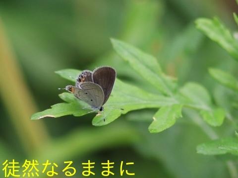 タイワンツバメシジミ  日本本土亜種_d0285540_05475086.jpg