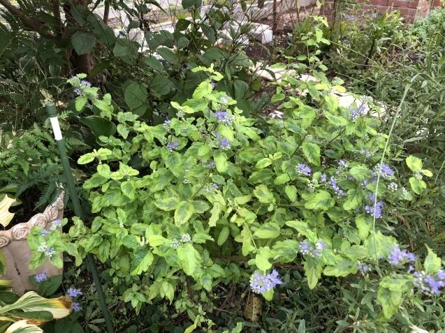 2種類「カリオプテリス」青紫色の花が綺麗に咲いています_a0243064_19484950.jpg
