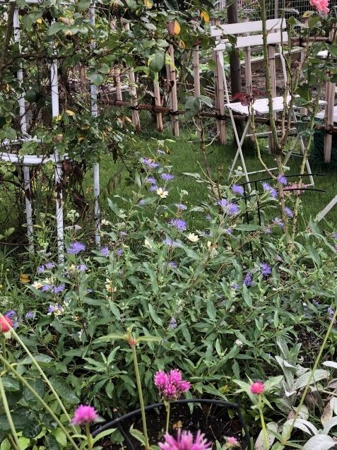 2種類「カリオプテリス」青紫色の花が綺麗に咲いています_a0243064_19551536.jpg