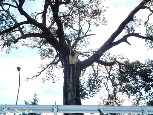 半木の桜が心配  2018年9月10日_a0164068_15462855.jpg