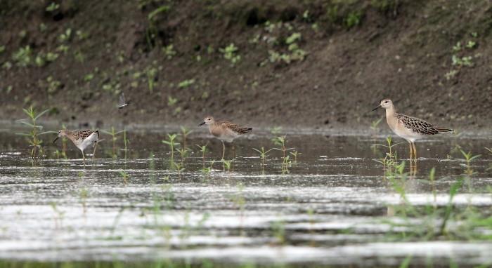 水の張られた休耕田でエリマキシギに逢う_f0239515_16430460.jpg