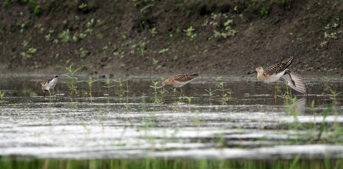 水の張られた休耕田でエリマキシギに逢う_f0239515_16473036.jpg
