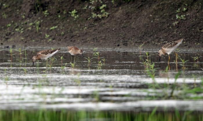 水の張られた休耕田でエリマキシギに逢う_f0239515_16501529.jpg