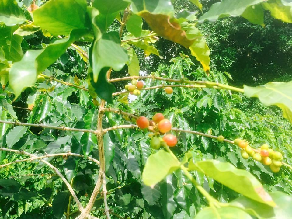 ハワイ島のコーヒー農園にて 〜自然とともにありのままに、本当のシンプルライフ〜_a0283079_00165233.jpg