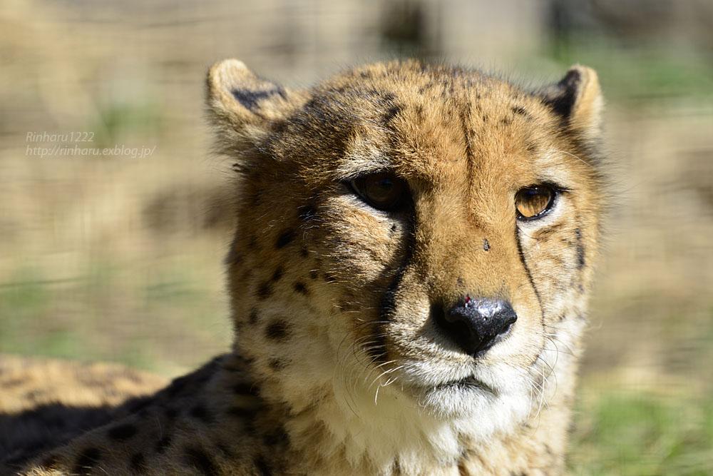 2016.11.30 群馬サファリパーク☆チーター男子部【Cheetah】_f0250322_20301590.jpg